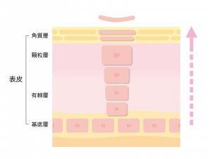 化粧品 成分浸透 セラミド 角質層 ターンオーバー