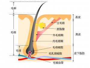 山田養蜂場 RJ地肌ケアエッセンス 育毛剤 ローヤルゼリー 髪の毛の仕組み