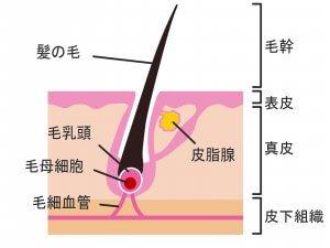 50代女性 薄毛 低体温 低血圧 髪の毛の仕組み