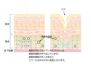 50代女性 ゼラチン紅茶 美肌 シワ・たるみ改善 皮膚の構造