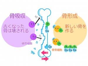 骨のサイクルの図
